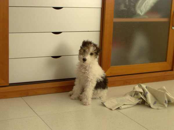 fox_terrier_blanca_casamya_blog_ana_pla_interiorismo_decoracion_2